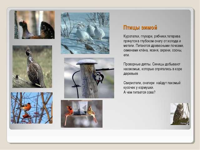 Птицы зимой Куропатки, глухари, рябчики,тетерева прячутся в глубоком снегу от...