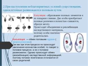 2.При наступлении неблагоприятных условий существования, одноклеточные размно