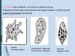 IV.Тело простейших состоит из одной клетки. В физиологическом отношении оно