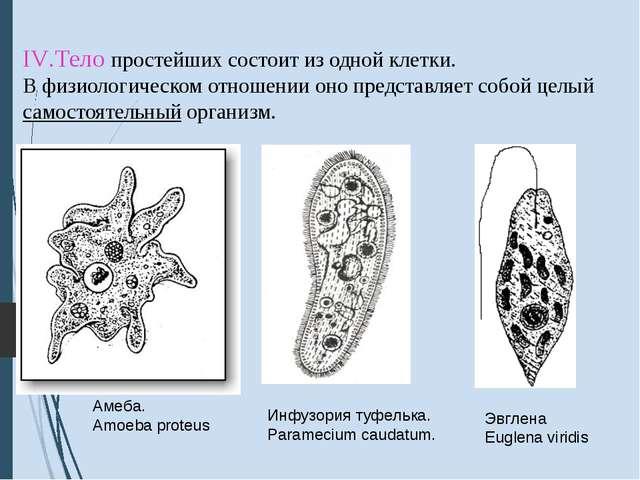 IV.Тело простейших состоит из одной клетки. В физиологическом отношении оно...