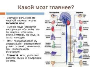 Какой мозг главнее? Ведущую роль в работе нервной системы играет головной моз