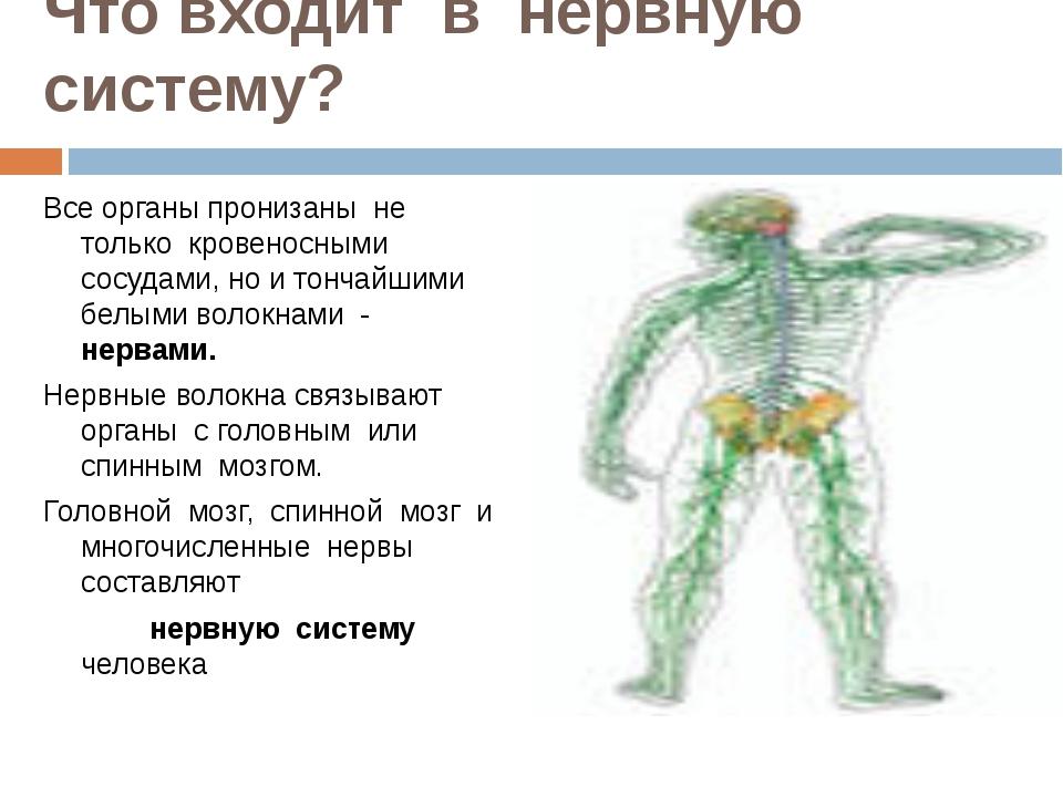 Что входит в нервную систему? Все органы пронизаны не только кровеносными сос...