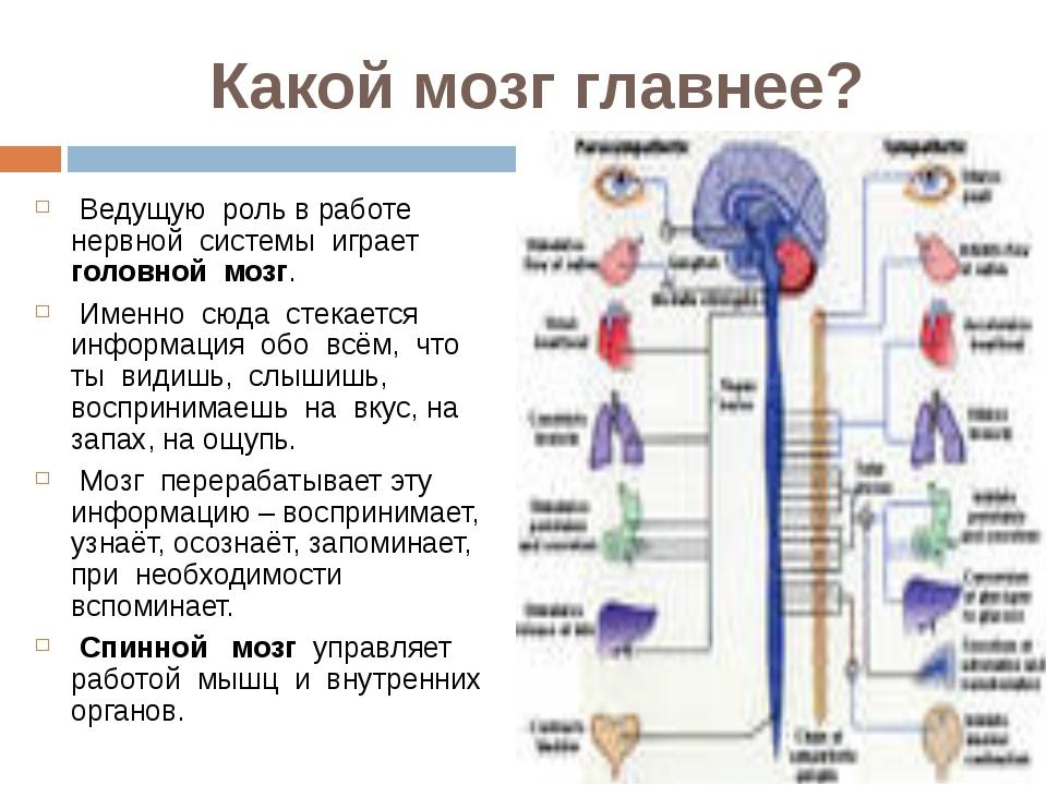 Какой мозг главнее? Ведущую роль в работе нервной системы играет головной моз...