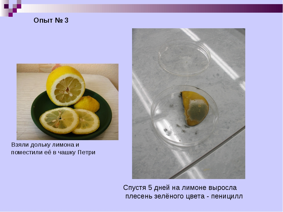 Опыт № 3 Взяли дольку лимона и поместили её в чашку Петри Спустя 5 дней на ли...
