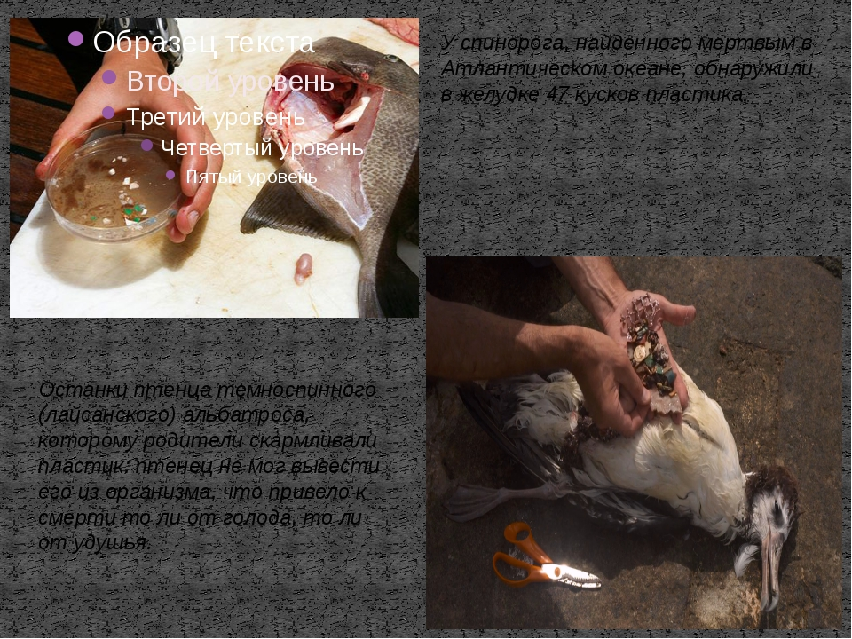 У спинорога, найденного мертвым в Атлантическом океане, обнаружили в желудке...
