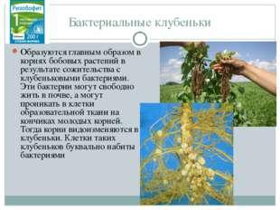 Бактериальные клубеньки Образуются главным образом в корнях бобовых растений