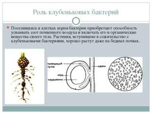 Роль клубеньковых бактерий Поселившись в клетках корня бактерии приобретают с