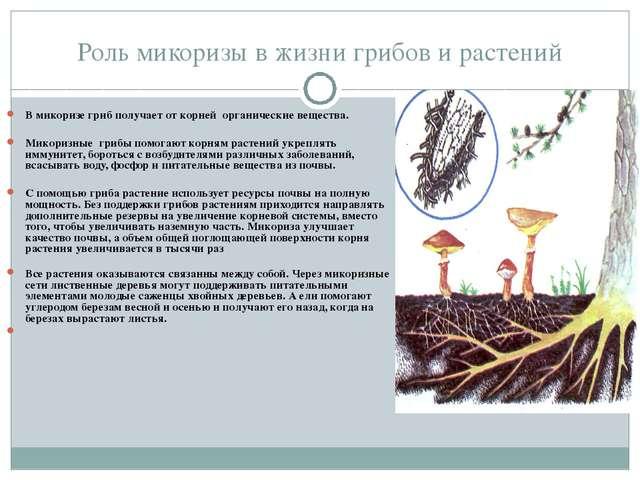 Роль микоризы в жизни грибов и растений В микоризе гриб получает от корней ор...