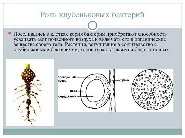 Роль клубеньковых бактерий Поселившись в клетках корня бактерии приобретают с...