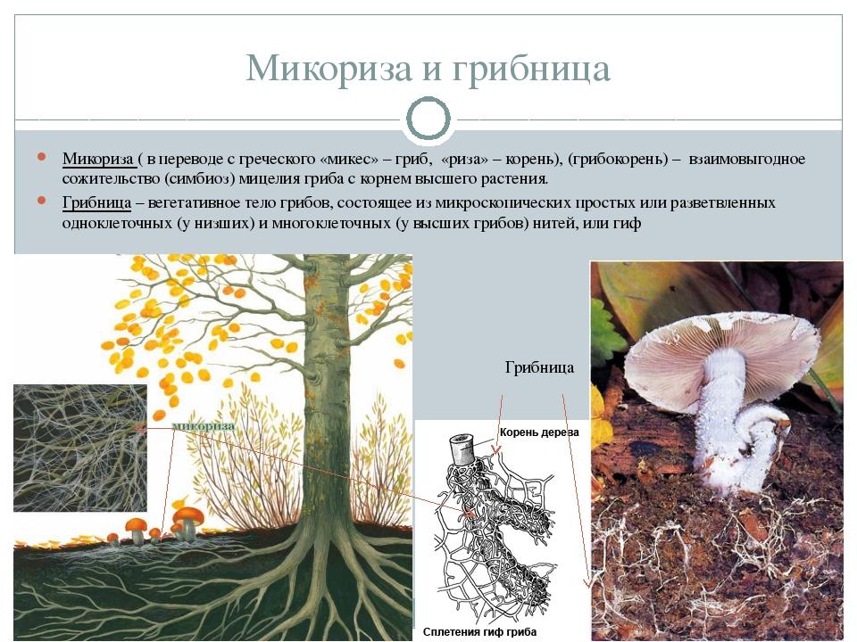 Микориза и грибница Микориза ( в переводе с греческого «микес» – гриб, «риза»...