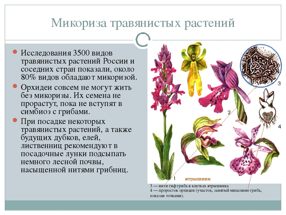 Микориза травянистых растений Исследования 3500 видов травянистых растений Ро...