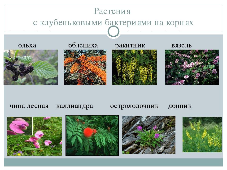 Растения с клубеньковыми бактериями на корнях ольха облепиха ракитник вязель...
