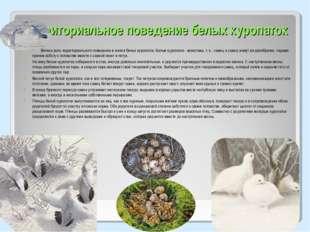 Территориальное поведение белых куропаток Велика роль территориального поведе