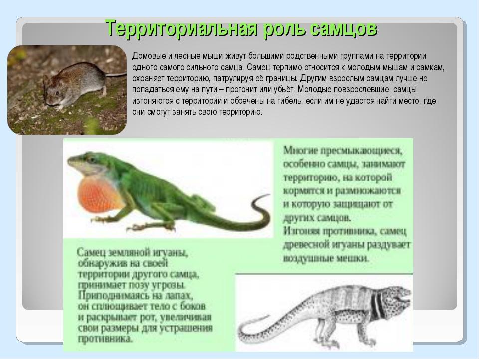Территориальная роль самцов Домовые и лесные мыши живут большими родственными...