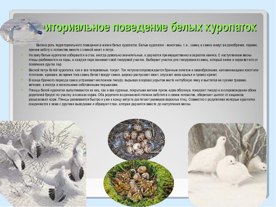 Территориальное поведение белых куропаток Велика роль территориального поведе...