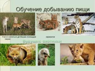 Обучение добыванию пищи Учатся охотиться детёныши леопардов каракалов тигров