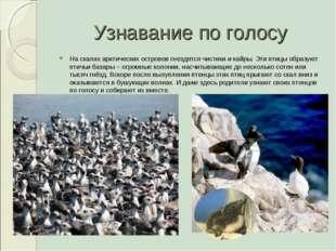 Узнавание по голосу На скалах арктических островов гнездятся чистики и кайры.