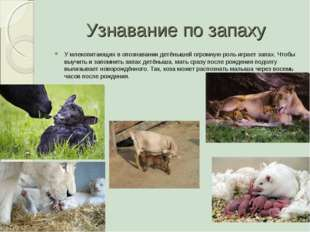 Узнавание по запаху У млекопитающих в опознавании детёнышей огромную роль игр