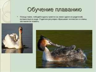 Обучение плаванию Птенцы чомги, лебедей подолгу греются на спине одного из ро