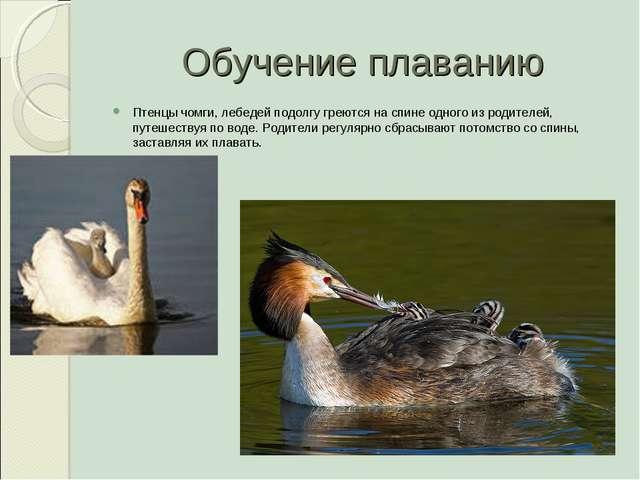Обучение плаванию Птенцы чомги, лебедей подолгу греются на спине одного из ро...