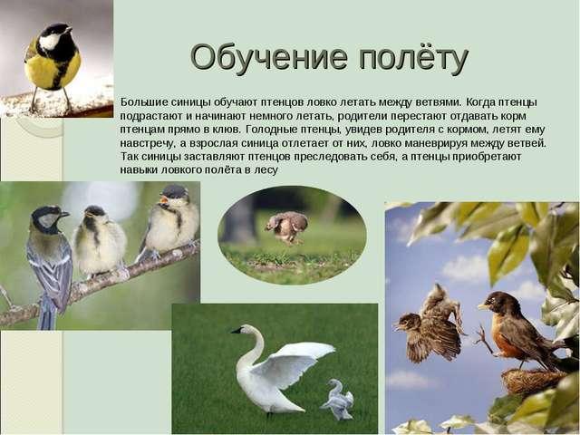Обучение полёту Большие синицы обучают птенцов ловко летать между ветвями. Ко...