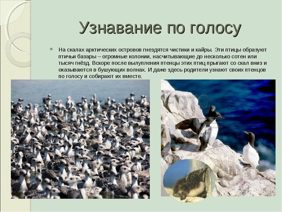 Узнавание по голосу На скалах арктических островов гнездятся чистики и кайры....
