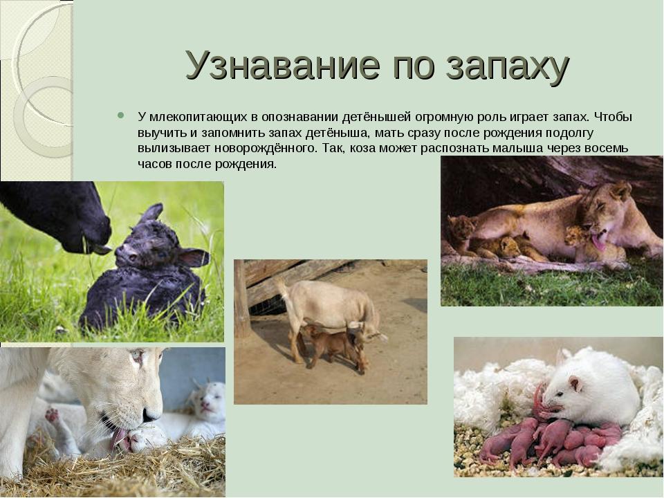 Узнавание по запаху У млекопитающих в опознавании детёнышей огромную роль игр...