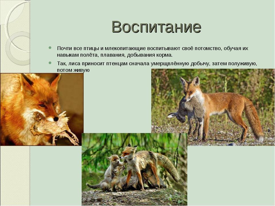 Воспитание Почти все птицы и млекопитающие воспитывают своё потомство, обучая...