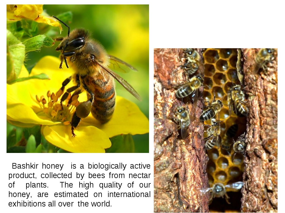 Bashkir honey is a biologically active product, collected by bees from necta...