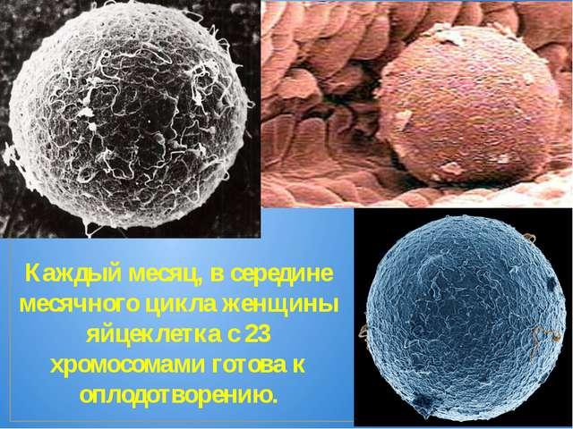 Каждый месяц, в середине месячного цикла женщины яйцеклетка с 23 хромосомами...