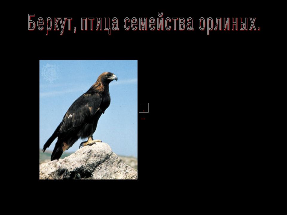 Название беркут (буркут, бюркют) - тюрское и широко распространено у народов...