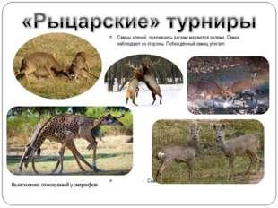 Самцы оленей, сцепившись рогами меряются силами. Самки наблюдают со стороны.
