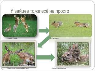 У зайцев тоже всё не просто Сначала – турнир Вперёд – за самкой Мама с папой