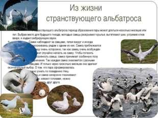 Из жизни странствующего альбатроса У странствующего альбатроса период образов