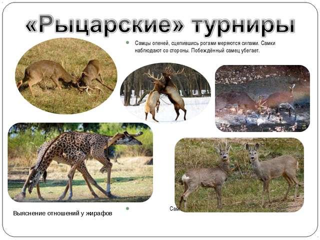 Самцы оленей, сцепившись рогами меряются силами. Самки наблюдают со стороны....