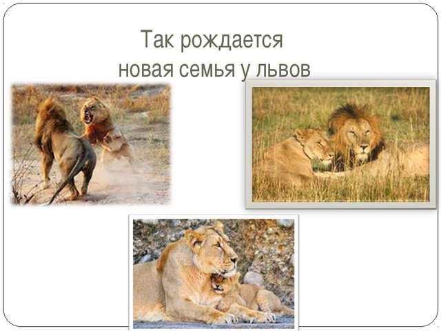 Так рождается новая семья у львов