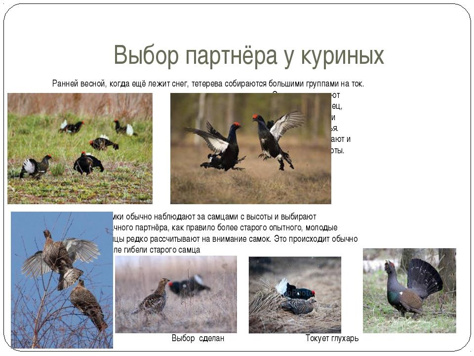 Выбор партнёра у куриных Ранней весной, когда ещё лежит снег, тетерева собира...