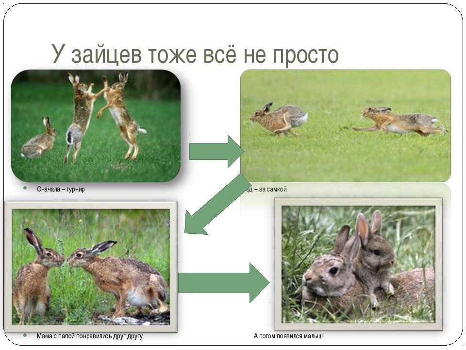 У зайцев тоже всё не просто Сначала – турнир Вперёд – за самкой Мама с папой...