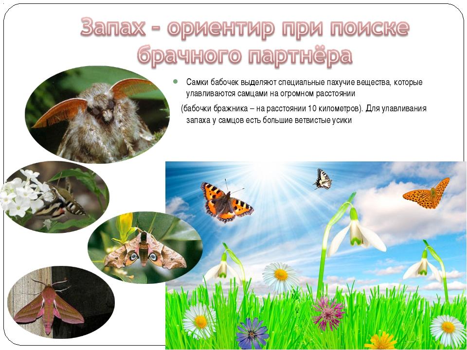 Самки бабочек выделяют специальные пахучие вещества, которые улавливаются сам...