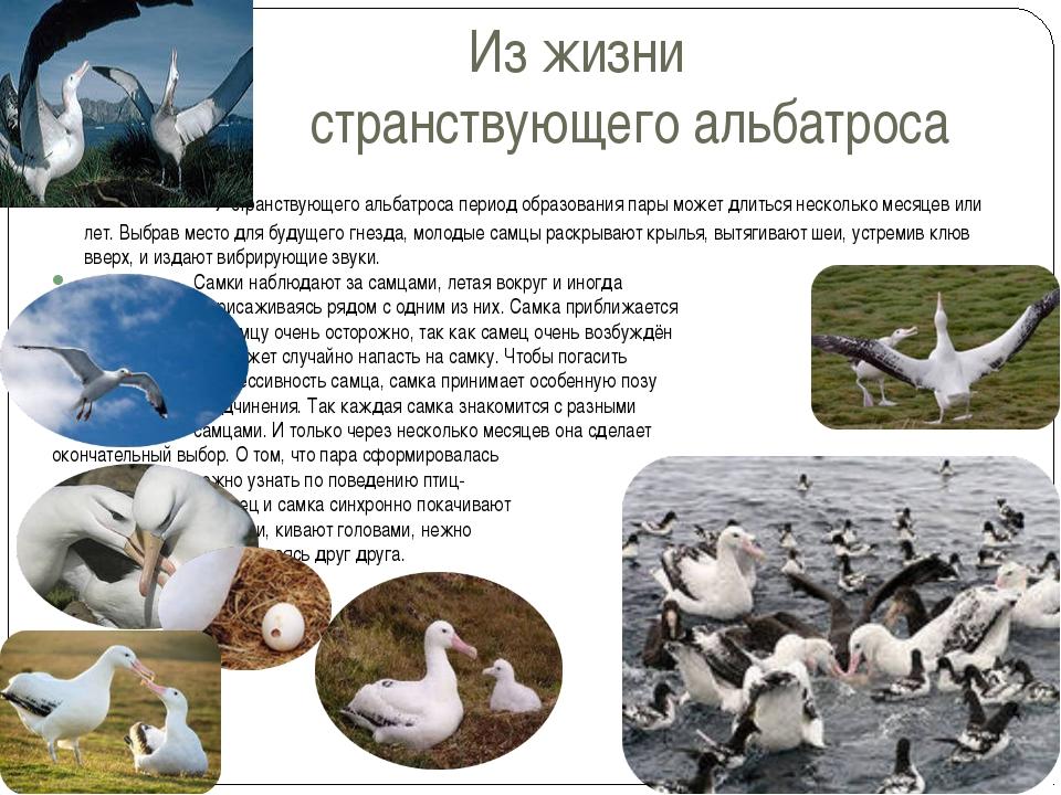 Из жизни странствующего альбатроса У странствующего альбатроса период образов...