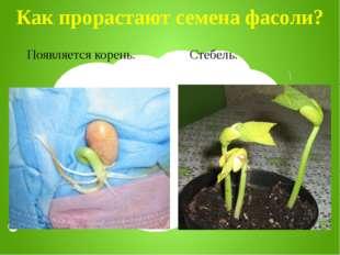 Как прорастают семена фасоли? Появляется корень. Стебель.