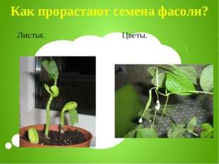 Как прорастают семена фасоли? Листья. Цветы.