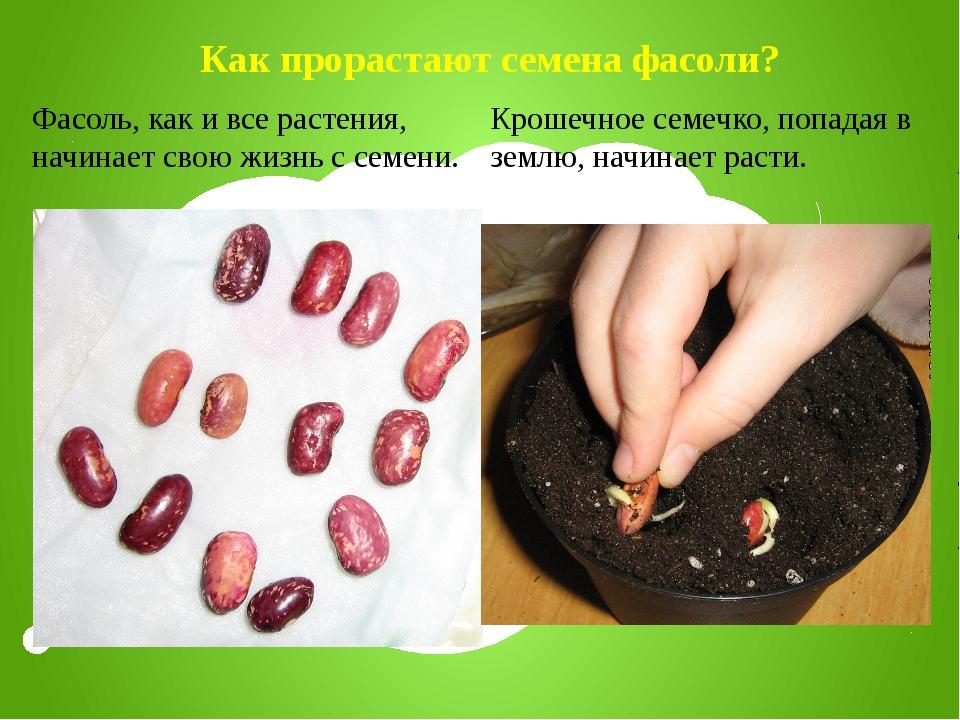 Как прорастают семена фасоли? Фасоль, как и все растения, начинает свою жизнь...