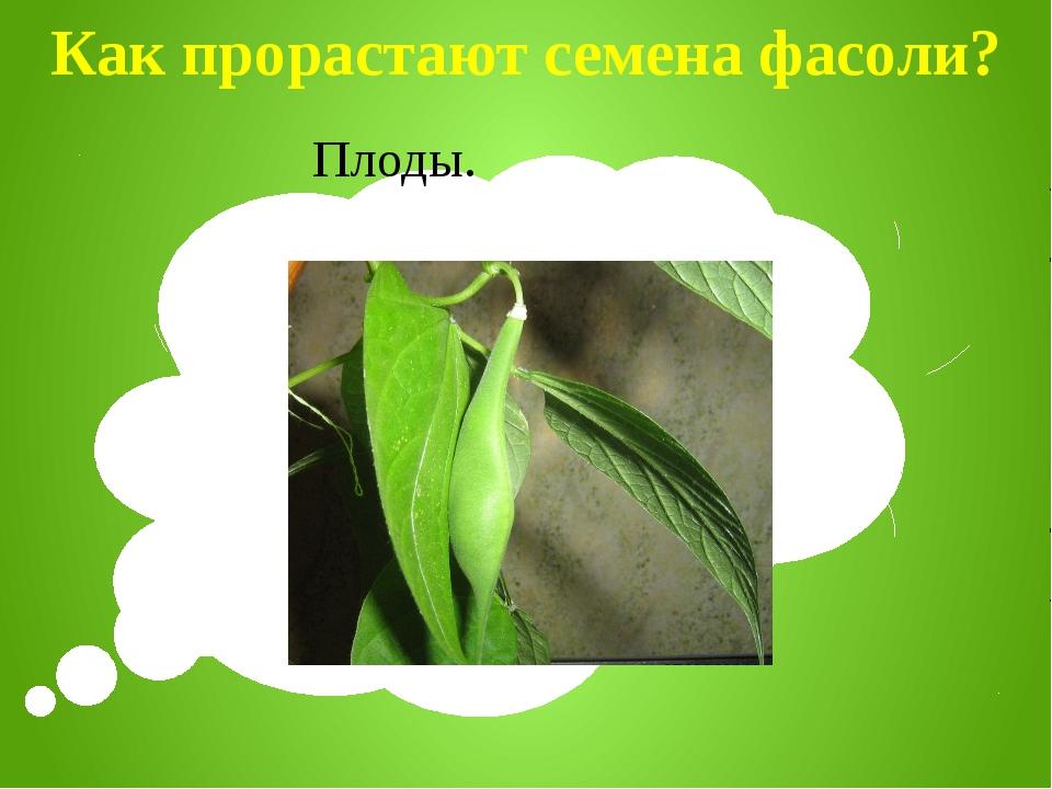 Как прорастают семена фасоли? Плоды.