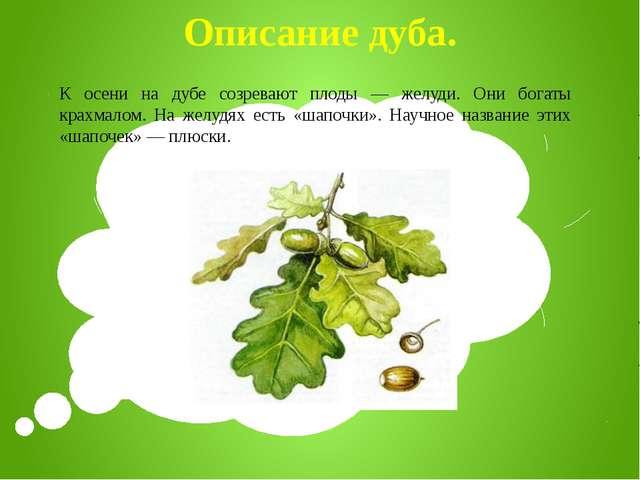 Описание дуба. К осени на дубе созревают плоды — желуди. Они богаты крахмалом...