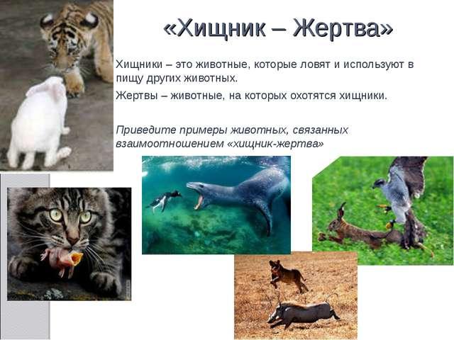 «Хищник – Жертва» Хищники – это животные, которые ловят и используют в пищу д...