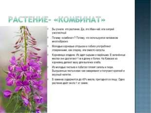 Вы узнали это растение. Да, это Иван-чай, или кипрей узколистный Почему «комб