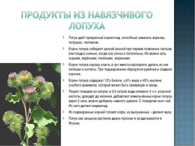 Лопух даёт прекрасный корнеплод, способный заменить морковь, петрушку, пастер...