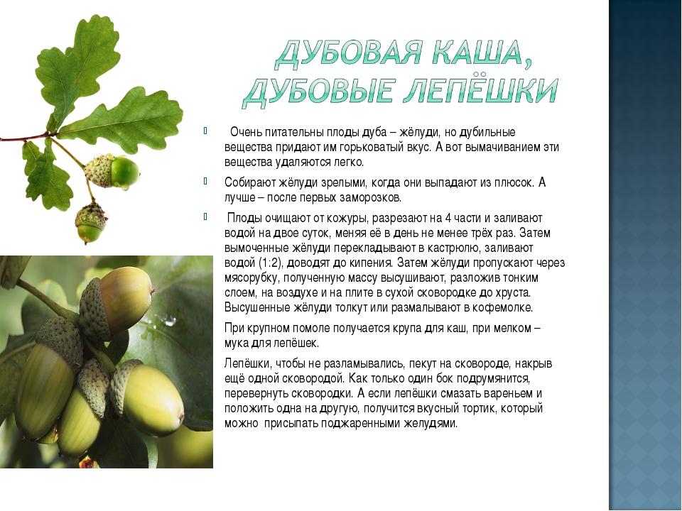 Очень питательны плоды дуба – жёлуди, но дубильные вещества придают им горьк...