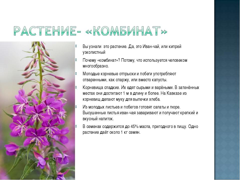 Вы узнали это растение. Да, это Иван-чай, или кипрей узколистный Почему «комб...